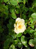 Rosa The Fairy Yellow (Poly) Shrub Rose 2L Pot 30cm
